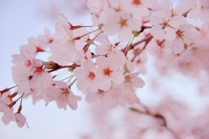 桜が咲きだしました!(*´▽`*)